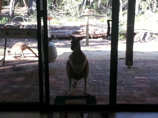 Yelverton Brook Eco Spa Retreat & Conservation Sanctuary: The roo at the door