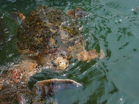 Kushimoto Marine Park Undersea Tower : ウミガメがワッサワッサいます