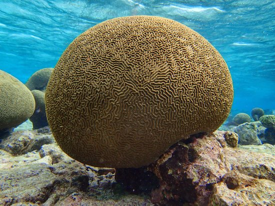 Savaneta, Aruba : A perfect pic of a perfect brain coral - by Stuart