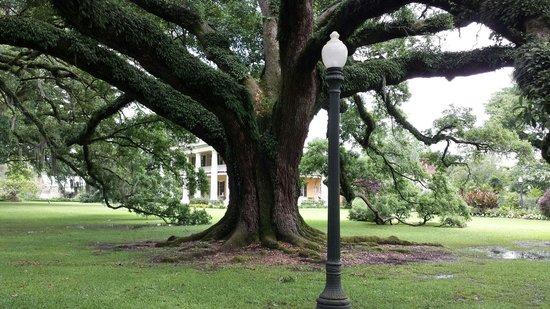 Houmas House Plantation and Gardens: Live oak