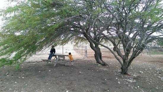 The Alpaca Farm: Acacia tree