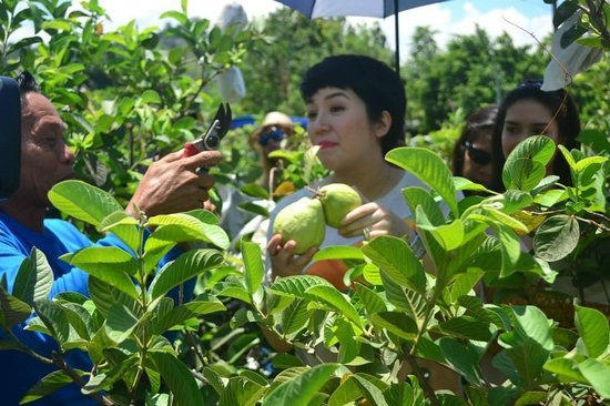 Bauang, Филиппины: Ms. Kris Aquino goes guapple picking!