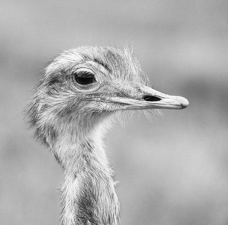 Blair Drummond Safari and Adventure Park: Ostrich