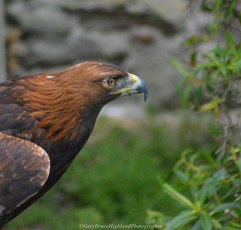 Invergordon Tours: Eagle at Dunrobin Castle falconry display (Gary Bruce)