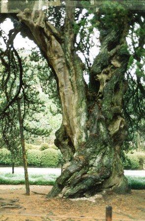 Kamakura Hiking Trails : Very old tree of gardens