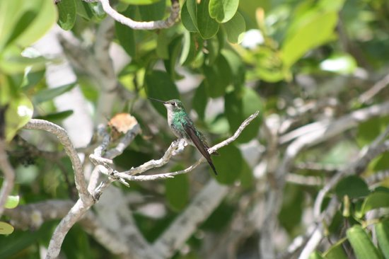 Royalton Cayo Santa Maria : Humming bird
