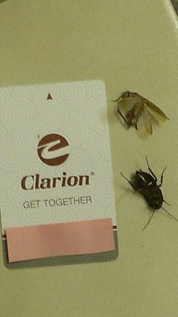 Clarion Inn & Suites: The roach, and beetle that were in my room