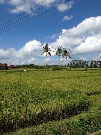 Bali On Bike: Rijstvelden