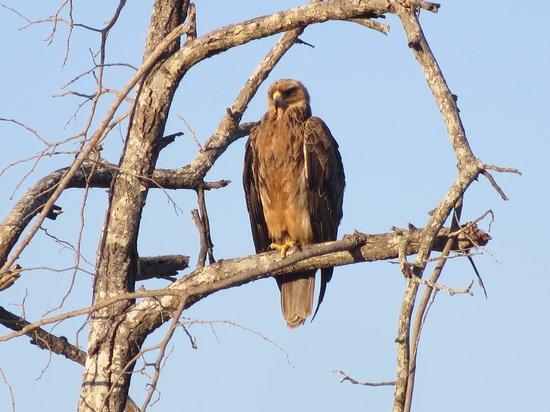 Chitwa Chitwa Private Game Reserve: Tawny Eagle