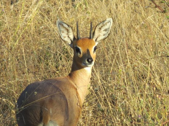 Chitwa Chitwa Private Game Reserve: Steenbok