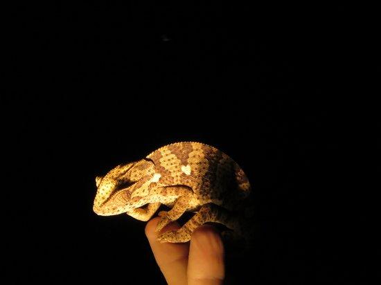 Chitwa Chitwa Private Game Reserve: Chameleon