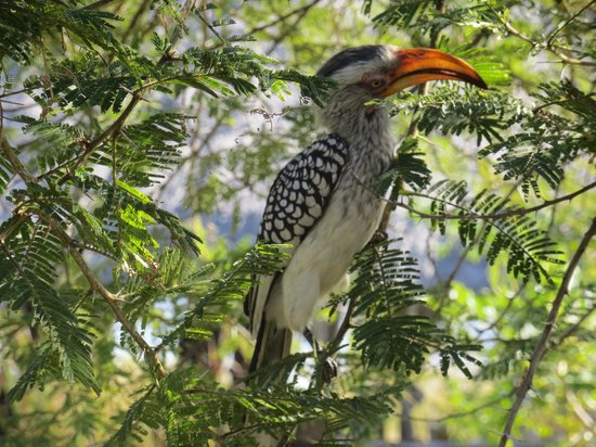 Chitwa Chitwa Private Game Reserve: Hornbill