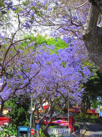 Melia Madeira Mare Resort & Spa : Jacaranda tree