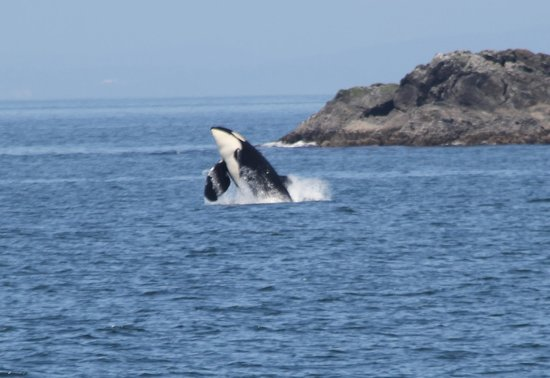Mystic Sea Charters: Orca breaching