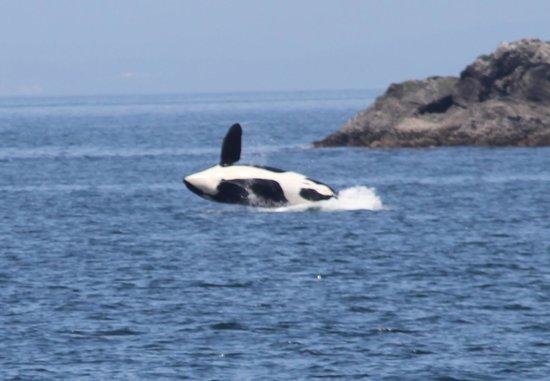 Mystic Sea Charters: Orca twisting over