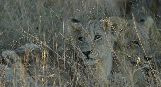 Londolozi Private Game Reserve: Cubs