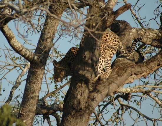 Londolozi Private Game Reserve: Leopard treed by Lions