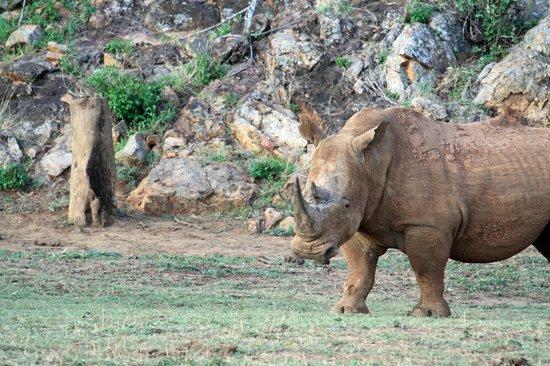 African Safari Guru Tours & Lodge Transfers: The lovely rhino