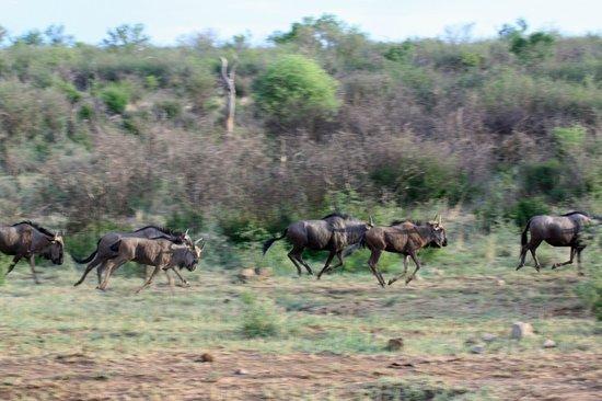 African Safari Guru Tours & Lodge Transfers: Wildebeast