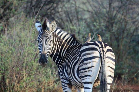 African Safari Guru Tours & Lodge Transfers: Zebra