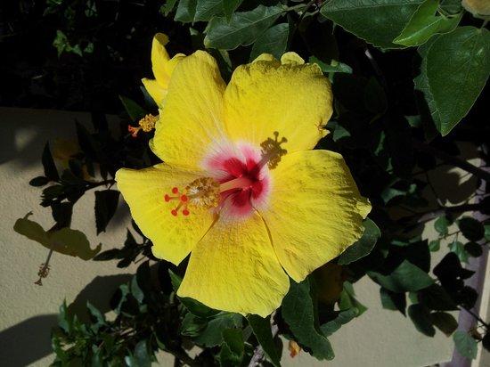 Hacienda del Mar Los Cabos: Hacienda del Mar Hibiscus Flower