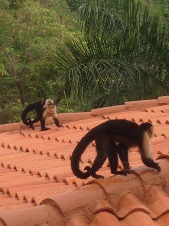 Parador Resort and Spa: Monkeys!