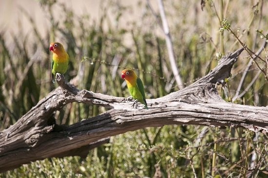 Ndutu Safari Lodge: Love Birds Ndutu Lodge