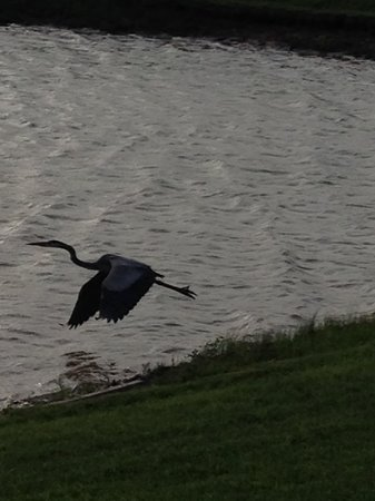 Homewood Suites by Hilton @ The Waterfront: Resident pelican 1