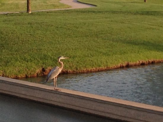 Homewood Suites by Hilton @ The Waterfront: Resident pelican 2