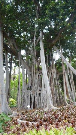 Jardín Botánico: arbre gigantesque