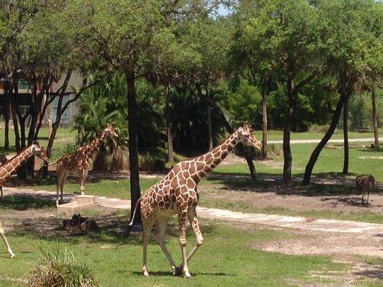 Disney's Animal Kingdom Lodge: Vista da nossa varanda!!!