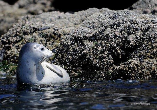 Seaweed Express: Baby Seal