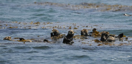 Seaweed Express: Sea Otters