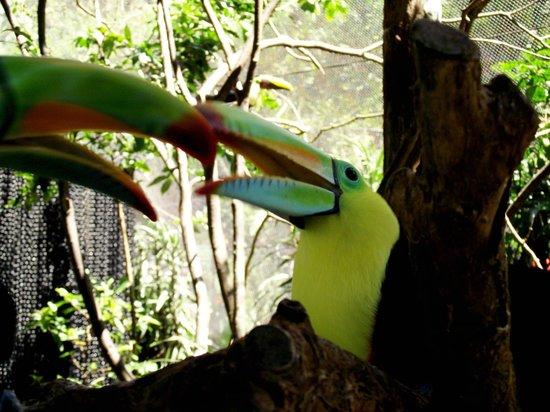 La Paz Waterfall Gardens: magnifiques toucans