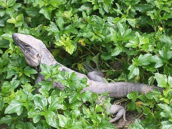 Luxury Bahia Principe Akumal Don Pablo Collection : Iguana escondida