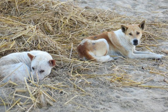 Ngapali Beach : local stray dogs hanging out on the beach
