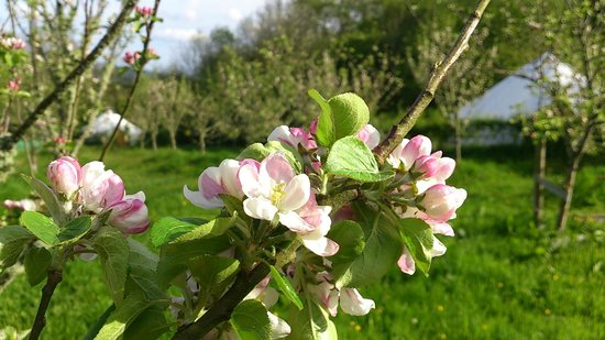 Ireland Glamping - Pink Apple Orchard: Spring Apple Blossom within Pink Apple Orchard.