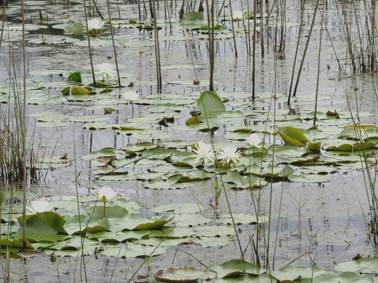 Timucuan Ecological & Historical Preserve: Water lilies filled the pond