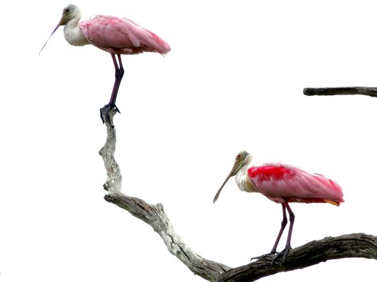 Timucuan Ecological & Historical Preserve: More spoonbills