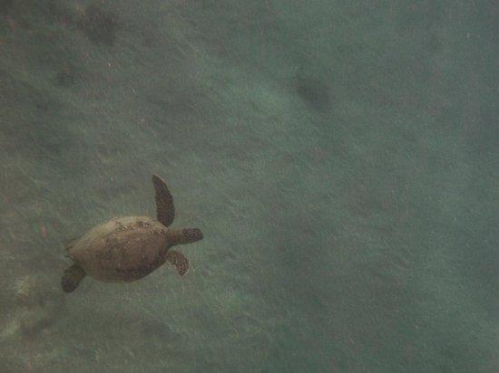 Aloha Kayaks Maui: Turtles near Olowalu Beach