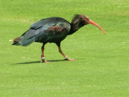 Argentario Golf Resort & Spa: Black ibis on the golfcourse