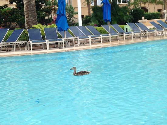 The Ritz-Carlton Orlando, Grande Lakes: Winged guests