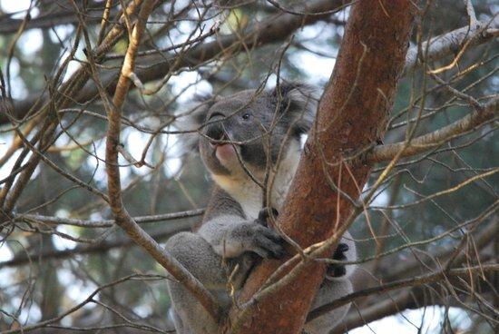 Western KI Caravan Park and Wildlife Reserve: koala in tree near reception