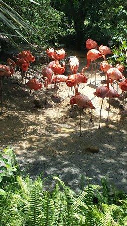 Tampa's Lowry Park Zoo: Flamingos