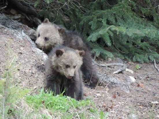 Baker Creek Mountain Resort: Bear with 2 cubs