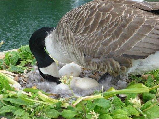 Royal Botanic Gardens Kew: Pata chocando ovos