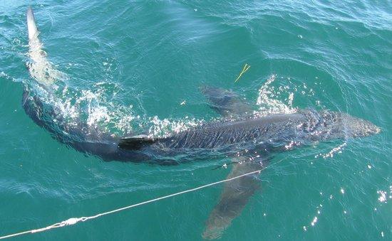 Diamond Pass Outfitters: 200 lb Blue Shark!