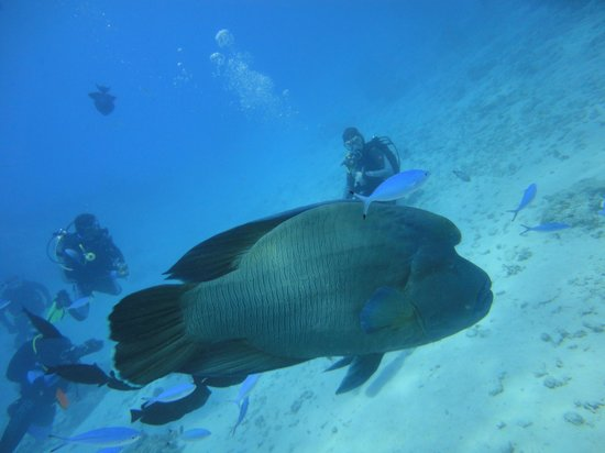 New Son Bijou Diving Center : what a size of this huge Napoleon fish