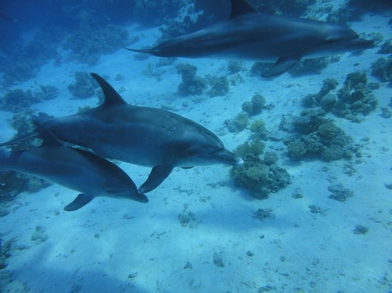 New Son Bijou Diving Center : Hello dolphins! We were lucky to dive so many times with dolphins for 40 min and more!