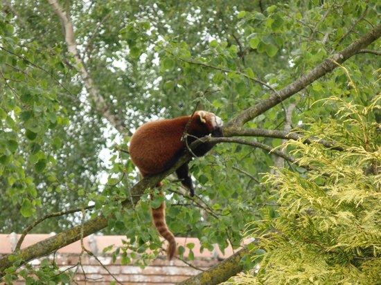 Parc Zoologique Cerza : panda roux